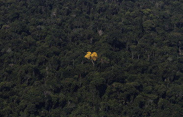 An ipe (lapacho) tree is seen in this aerial view of the Amazon rainforest near Novo Progresso