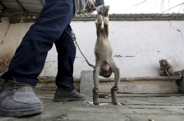 A trainer holds a monkey performing a handstand on bars at a monkey farm in Baowan village