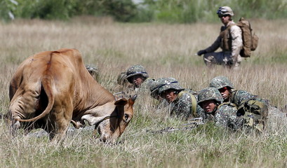 Philippine marine troopers and a U.S. soldier look at a cow approaching their flank as they take positions during assault exercises in joint drills aimed at enhancing cooperation between the allies at a Philippine Naval base San Antonio