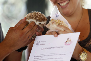A hedgehog wearing a bridal veil is seen next to another after making a paw print on a symbolic pets wedding certificate during Valentine's Day celebrations organized by a local municipality in Lima