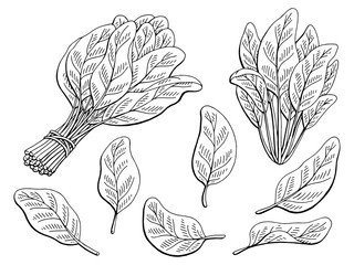 Spinach graphic black white isolated sketch illustration vector
