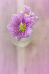 Flower Chrysanthemum in the glass bottle in pink tone, focus in the centre of flower