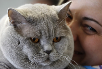 British Shorthair cat 'Baileys' is presented by her owner at World Cat Exhibition in Dortmund