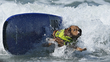 A dog wipes out while competing in the Surf City surf dog competition in Huntington Beach