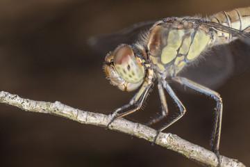 A beautiful dragonfly close portrait