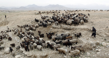 Afghans herd a flock of sheep in Bagram