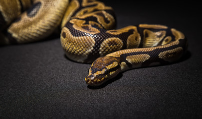 Closeup photo of brown royal python