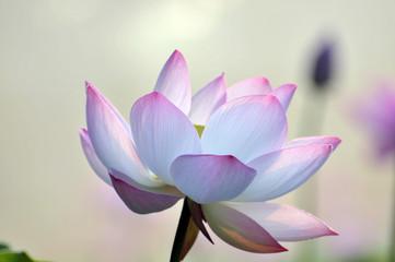 Garden Poster Lotus flower Blossom lotus flower