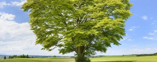 Große alte Buche als Einzelbaum im Frühling