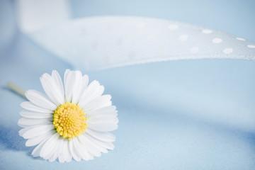 stokrotka-kwiat na niebieskim tle