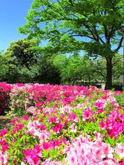 Fotobehang Lavendel ツツジ咲く公園風景