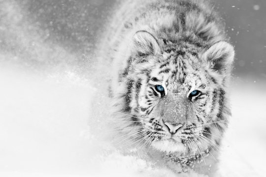 Artistic, black and white photo of  Siberian tiger, Panthera tigris altaica, male in winter landscape, walking directly at camera in deep snow. Taiga environment, freezing cold, winter.