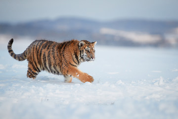 Majestic Siberian tiger, Panthera tigris altaica, male in picturesque winter landscape, walking in deep snow against blurred hills. Freezing cold, winter. Tiger in snowy environment.