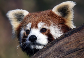 Bamboo, one of a pair of five-month-old red panda twins, watches from a tree in Zagreb Zoo