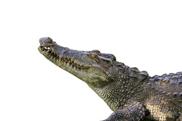 Deurstickers Krokodil Image of a crocodile on white background. Reptile Animals.