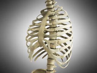 uman Skeleton Ribs with vertebral column Anatomy Anterior view 3D render on grey
