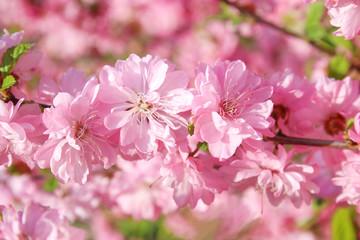 Sakura. Cherry blossoms in Springtime. Pink spring blossom background.
