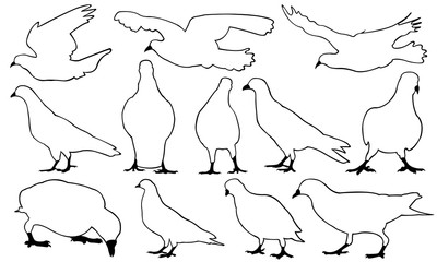 Set of different pigeons isolated on white