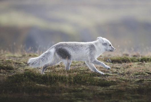 The fox roam