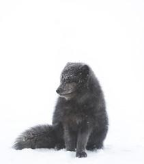 Arctic fox whiteout