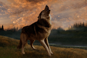 The wolf sings at sunset