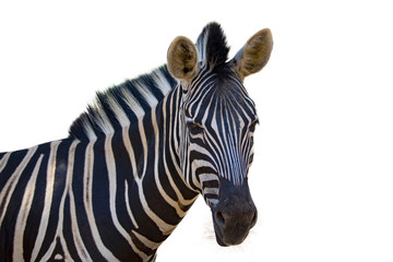 Image of an zebra on white background. wild animals.