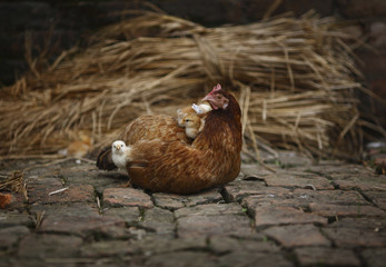 A chicken rests with its baby chicks along a street in Lalitpur