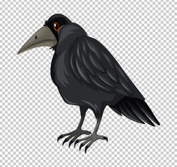 Wild crow on transparent background