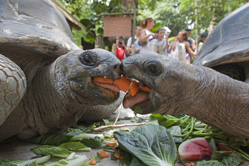 Two Aldabra giant tortoises fight for a carrot during feeding time at the Singapore Zoo