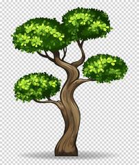 Bonsai tree on transparent background