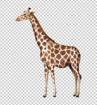 Wild giraffe on transparent background