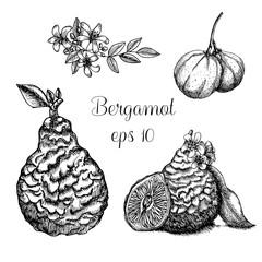 Hand drawn bergamot