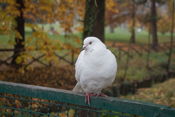 White dove sitting on a fence.