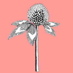 Clover flower colored in black and white on color background. Stylized blossom sketched with ink vector illustration.