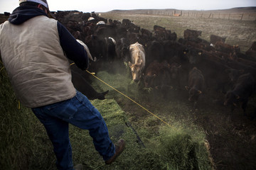 Ranch hand Ricardo Madrigal feeds cattle on the Van Vleck Ranch in Rancho Murieta.