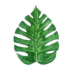 Hand drawn watercolor tropical monstera leaf isolated on the white background