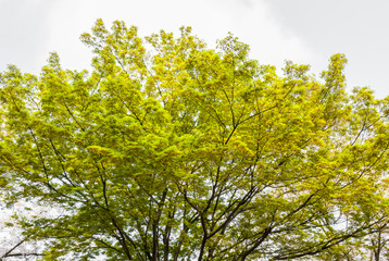Green leaves and branches of tree on white background