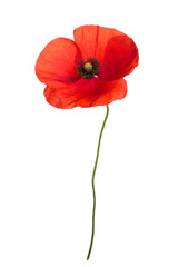 Bouquet of wild red poppies. Isolated on white background.