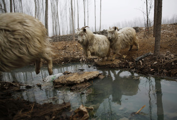 Goats jumps to cross a stream as they are driven by a herdsman at Dashiwo village, on the outskirts of Beijing