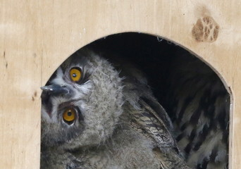 An Eagle Owl chick looks out from a birdhouse at a zoo in Krasnoyarsk