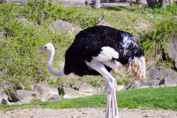 Ostrich isolate a green