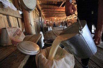 An employee pours milk as cows are milked in the background at the Antsiferovskoye Farm in the village of Antsiferovo