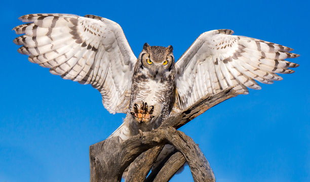 Great Horned Owl Landing with Talons Outstretched