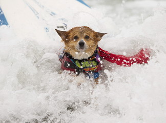 A corgi named Jojo crashes while riding a wave in the medium size dog competition during the 10th annual Petco Unleashed surfing dog contest at Imperial Beach, California