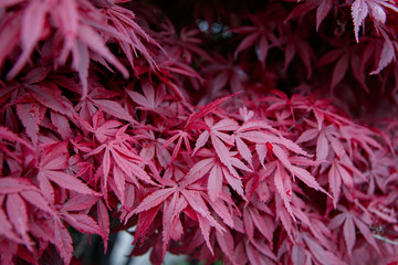 Japanice maple with red leaves ,acer palmatum
