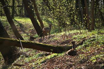 Sarny w lesie obok jeziora i drzew