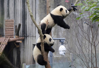 A baby giant panda is interested in a camera set up on a tree at Chengdu Research Base of Giant Panda Breeding in Chengdu