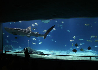 A tourist takes a picture of a whale shark at the National Museum of Marine Biology and Aquarium in Checheng Township