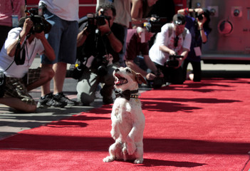 "The dog Uggie, featured in the film ""The Artist"", is pictured before the ceremony where he left his paw prints in cement in the forecourt of the Grauman's Chinese theatre in Hollywood"