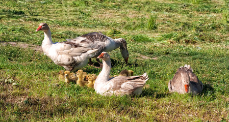 Geese and a flock of young geese .